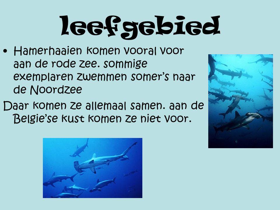 leefgebied Hamerhaaien komen vooral voor aan de rode zee. sommige exemplaren zwemmen somer's naar de Noordzee.