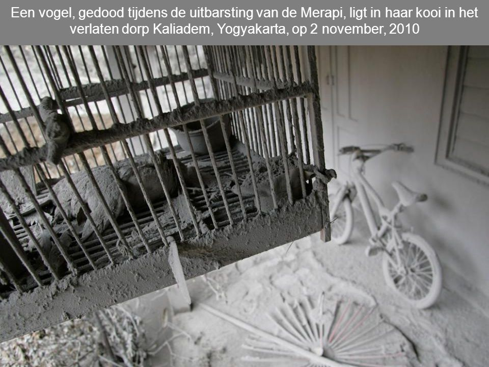 Een vogel, gedood tijdens de uitbarsting van de Merapi, ligt in haar kooi in het verlaten dorp Kaliadem, Yogyakarta, op 2 november, 2010