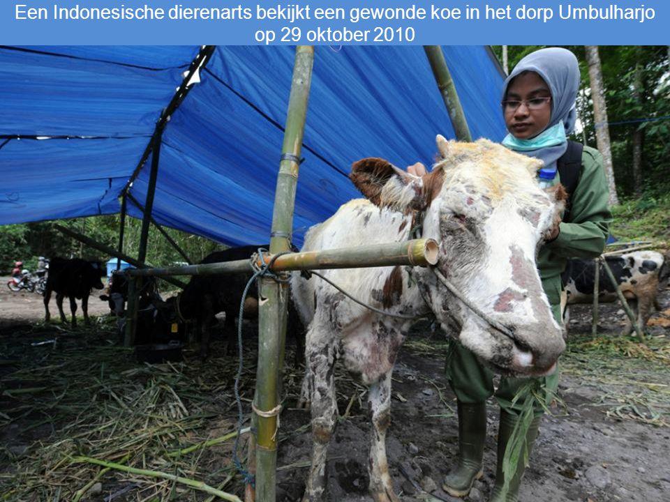 Een Indonesische dierenarts bekijkt een gewonde koe in het dorp Umbulharjo op 29 oktober 2010