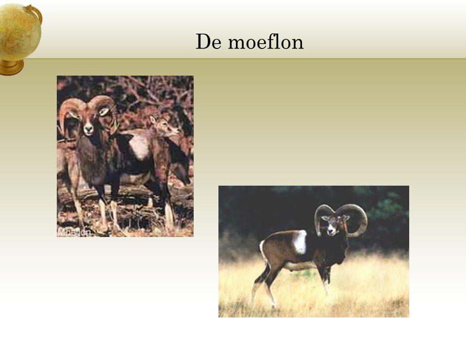 De moeflon Voeg een afbeelding in van een dier en/of een plant die in je land wordt aangetroffen.