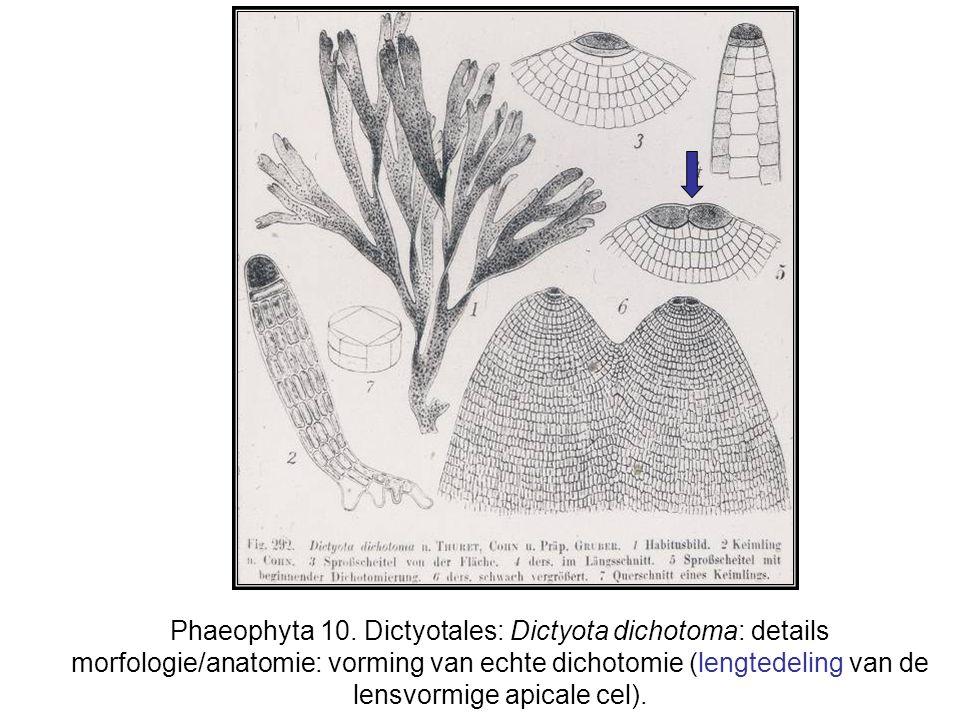 Phaeophyta 10.