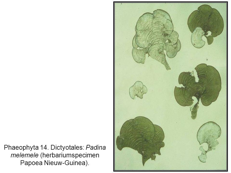 Phaeophyta 14. Dictyotales: Padina melemele (herbariumspecimen Papoea Nieuw-Guinea).