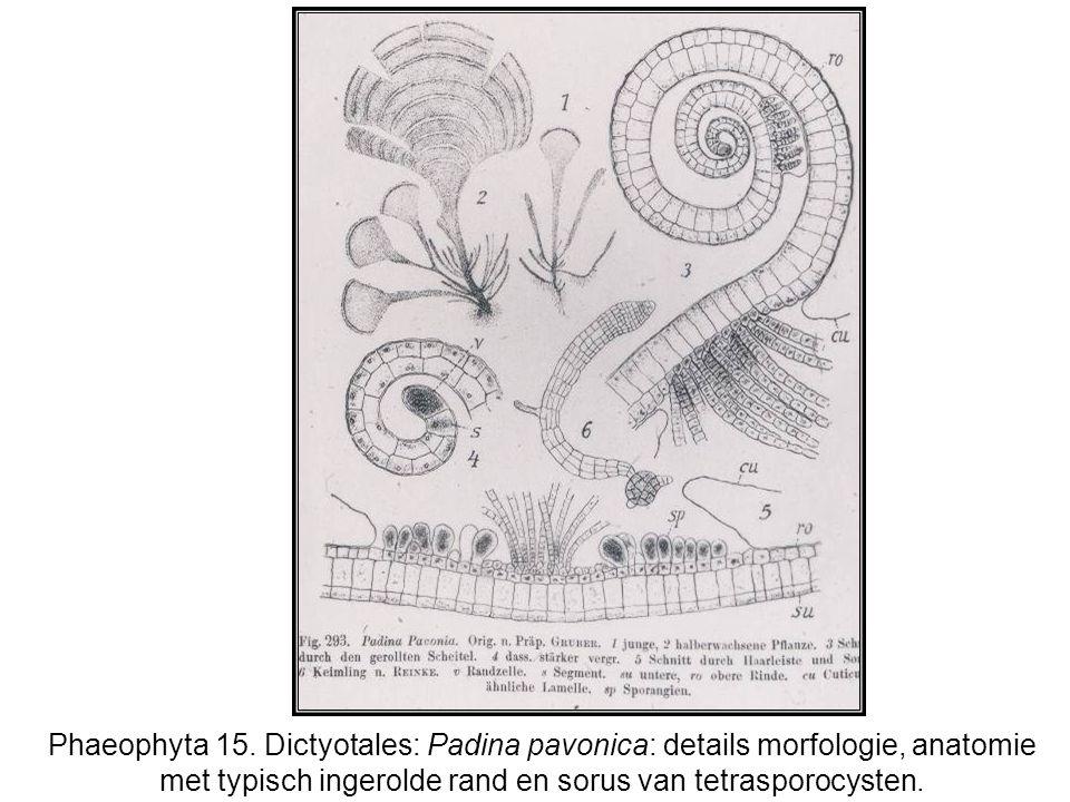 Phaeophyta 15.