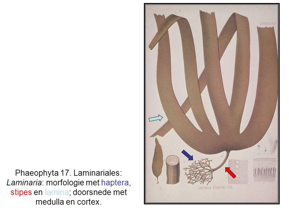 Phaeophyta 17.