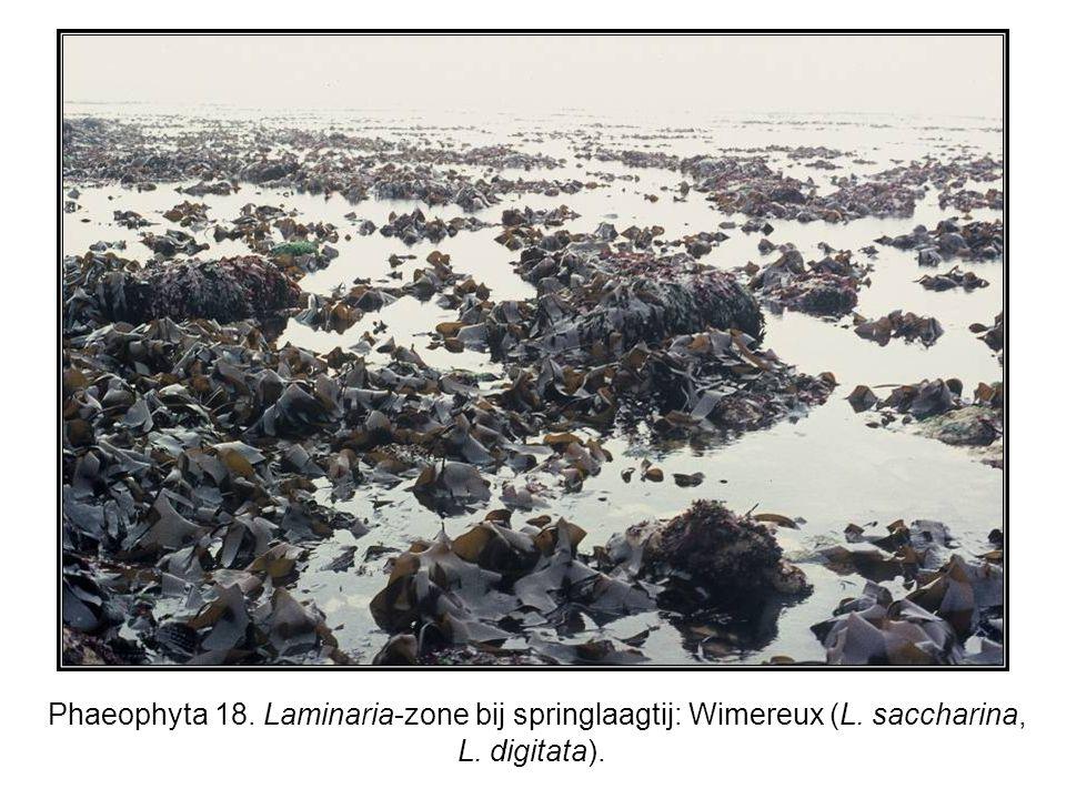 Phaeophyta 18. Laminaria-zone bij springlaagtij: Wimereux (L