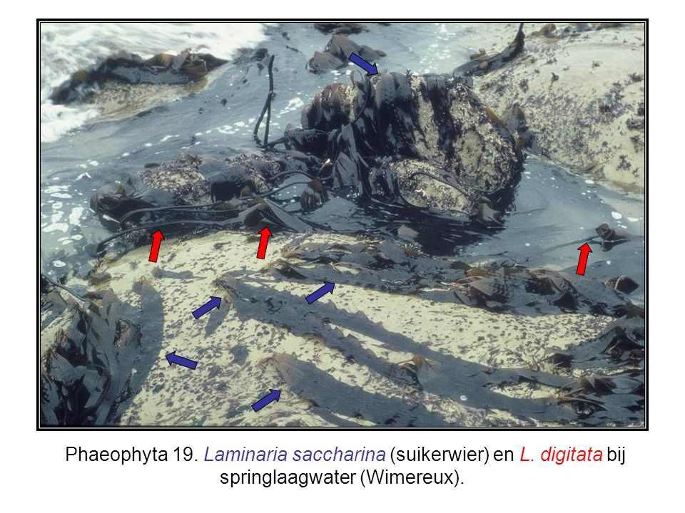 Phaeophyta 19. Laminaria saccharina (suikerwier) en L