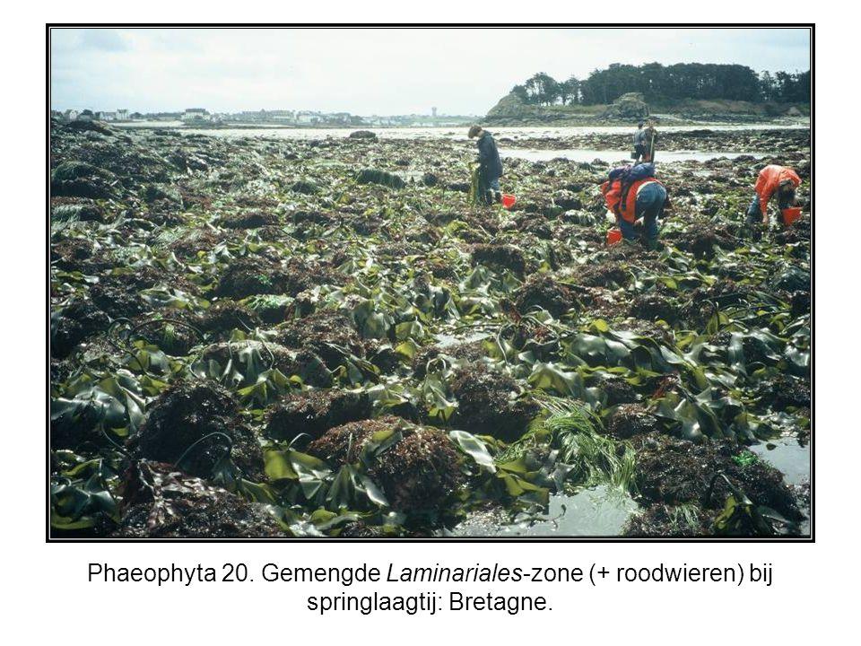 Phaeophyta 20. Gemengde Laminariales-zone (+ roodwieren) bij springlaagtij: Bretagne.
