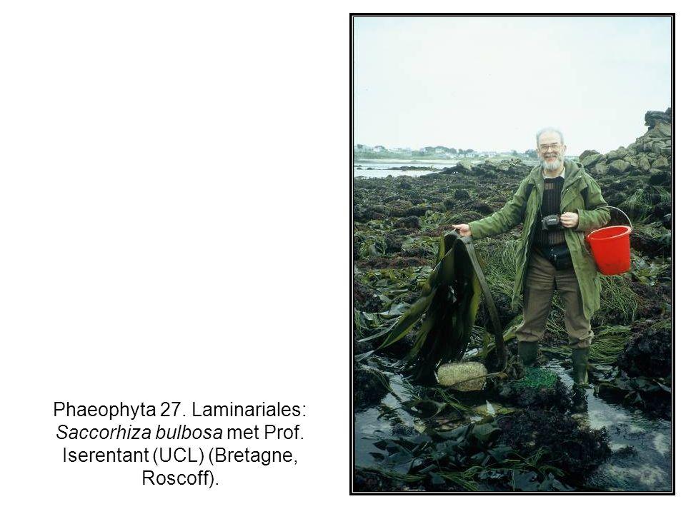 Phaeophyta 27. Laminariales: Saccorhiza bulbosa met Prof