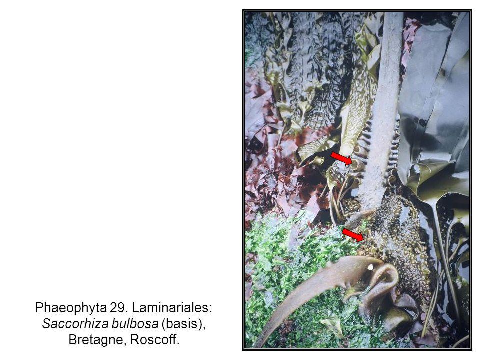 Phaeophyta 29. Laminariales: Saccorhiza bulbosa (basis), Bretagne, Roscoff.