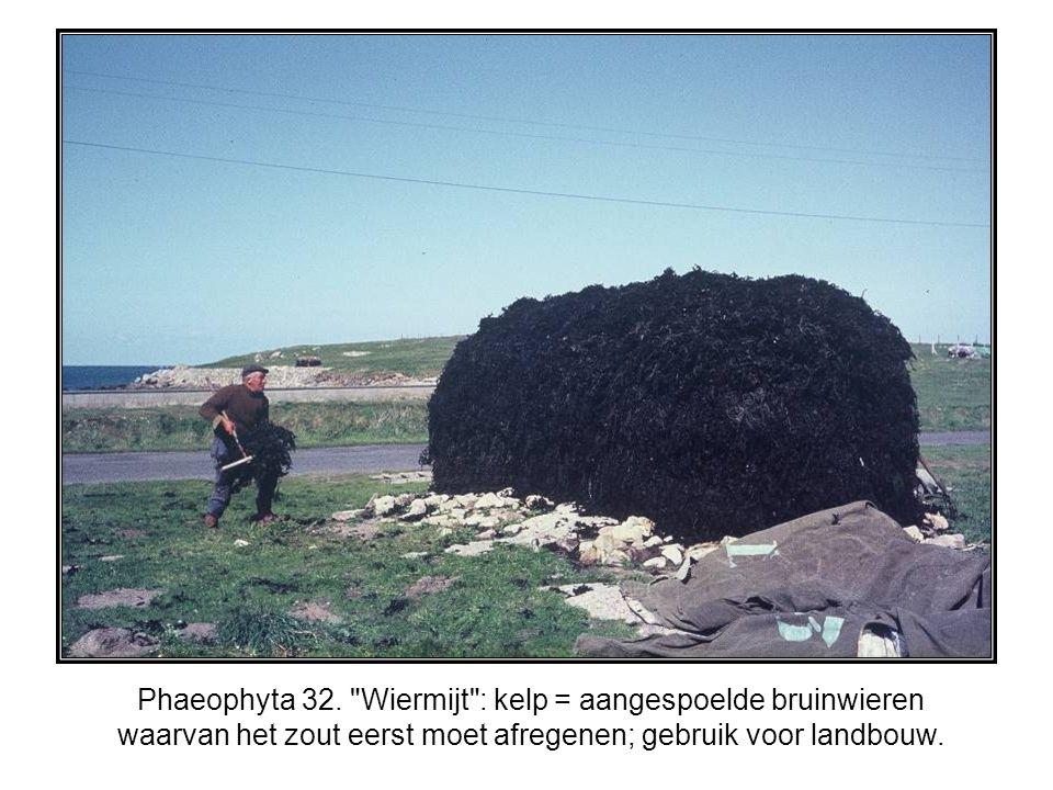 Phaeophyta 32.
