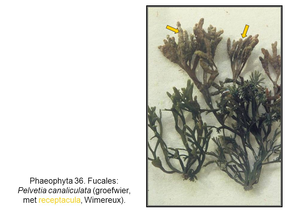 Phaeophyta 36. Fucales: Pelvetia canaliculata (groefwier, met receptacula, Wimereux).