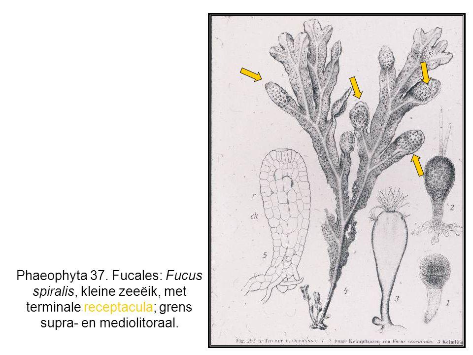 Phaeophyta 37.