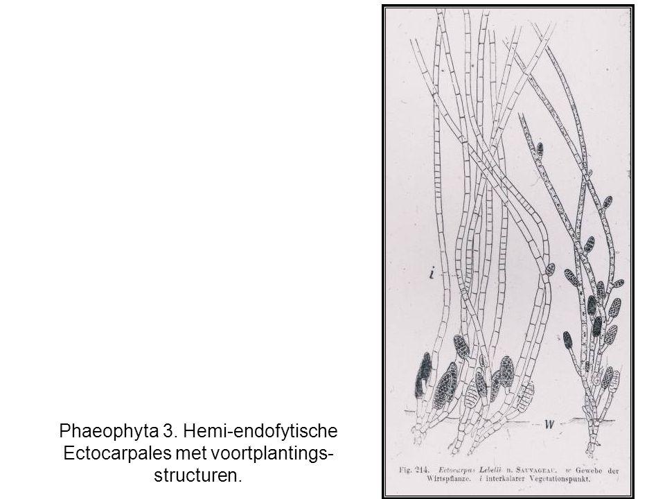 Phaeophyta 3. Hemi-endofytische Ectocarpales met voortplantings- structuren.