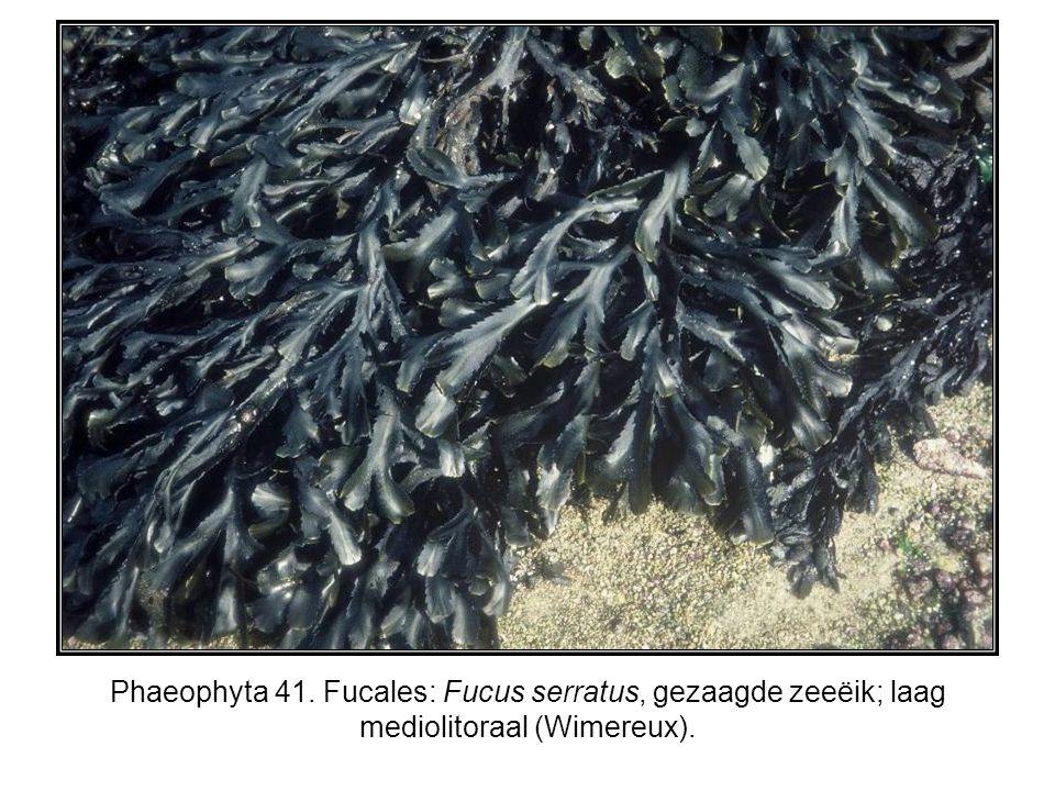 Phaeophyta 41. Fucales: Fucus serratus, gezaagde zeeëik; laag mediolitoraal (Wimereux).