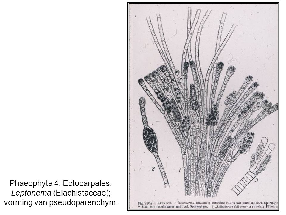 Phaeophyta 4. Ectocarpales: Leptonema (Elachistaceae); vorming van pseudoparenchym.