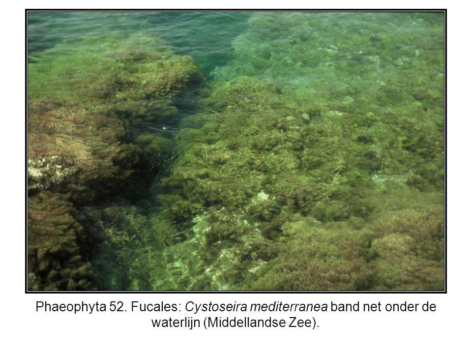 Phaeophyta 52. Fucales: Cystoseira mediterranea band net onder de waterlijn (Middellandse Zee).