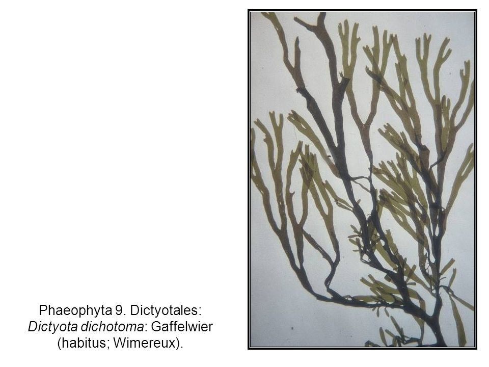 Phaeophyta 9. Dictyotales: Dictyota dichotoma: Gaffelwier (habitus; Wimereux).