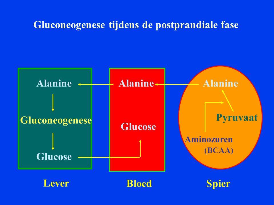Gluconeogenese tijdens de postprandiale fase