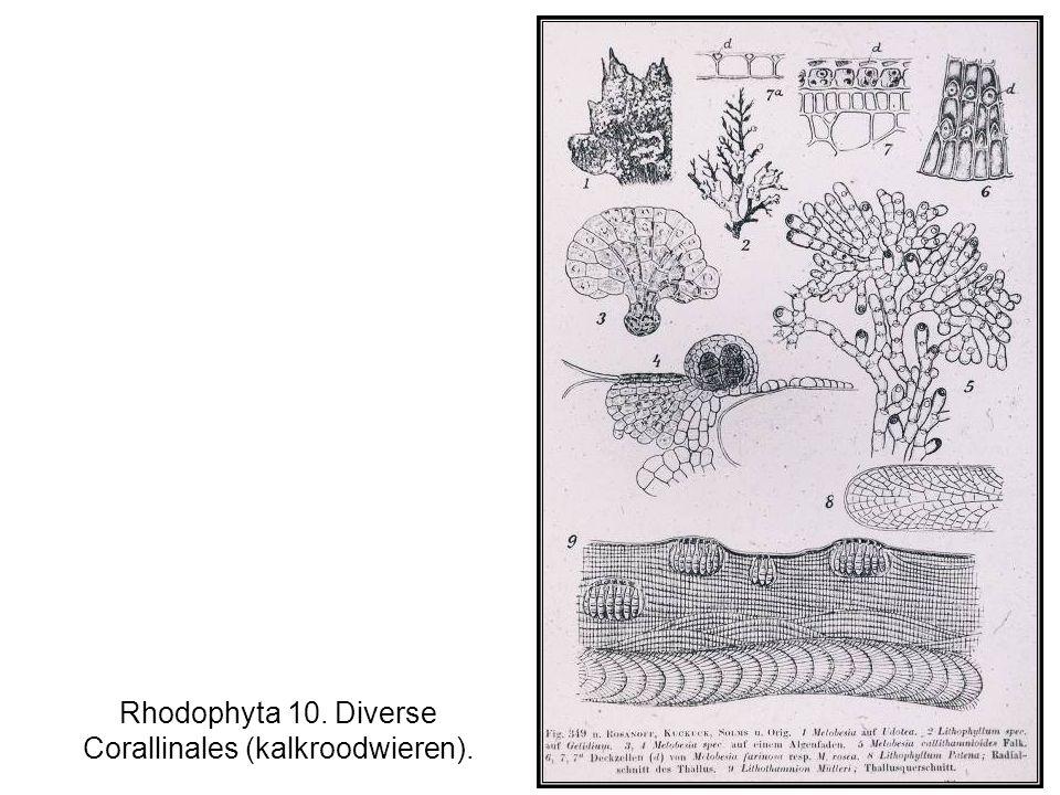 Rhodophyta 10. Diverse Corallinales (kalkroodwieren).