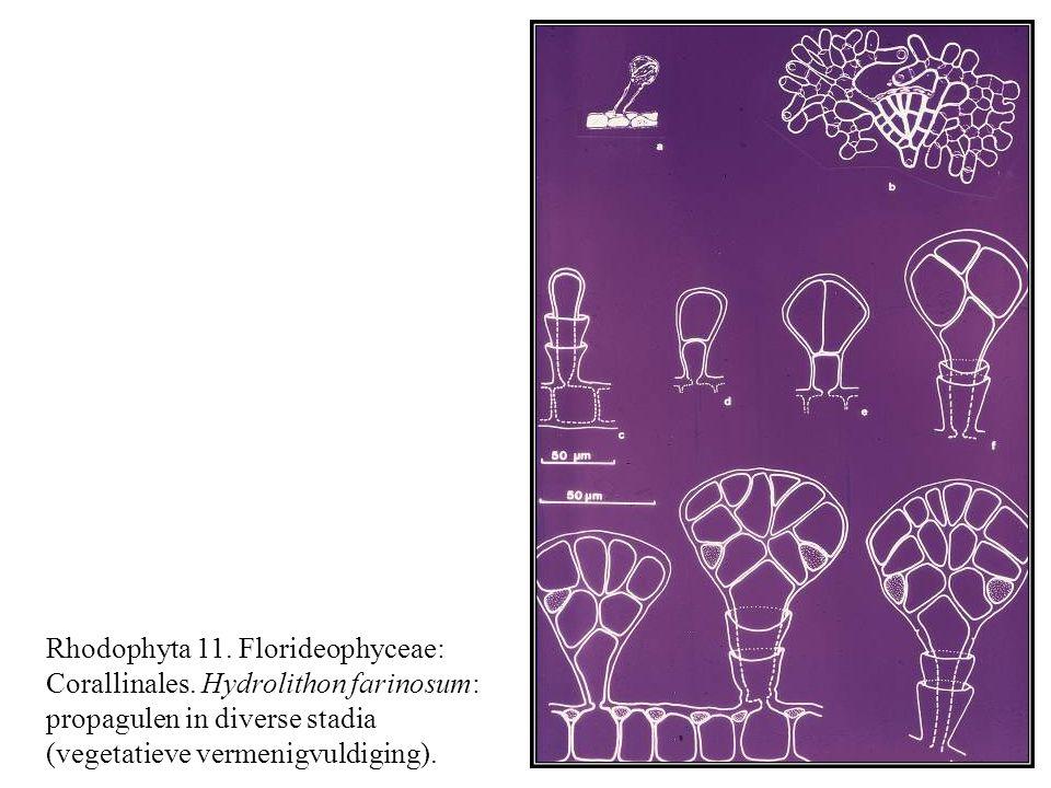 Rhodophyta 11. Florideophyceae: Corallinales