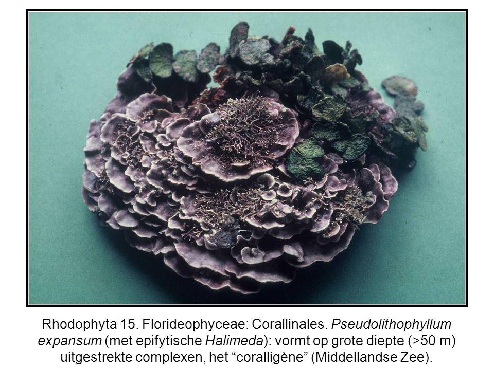 Rhodophyta 15. Florideophyceae: Corallinales