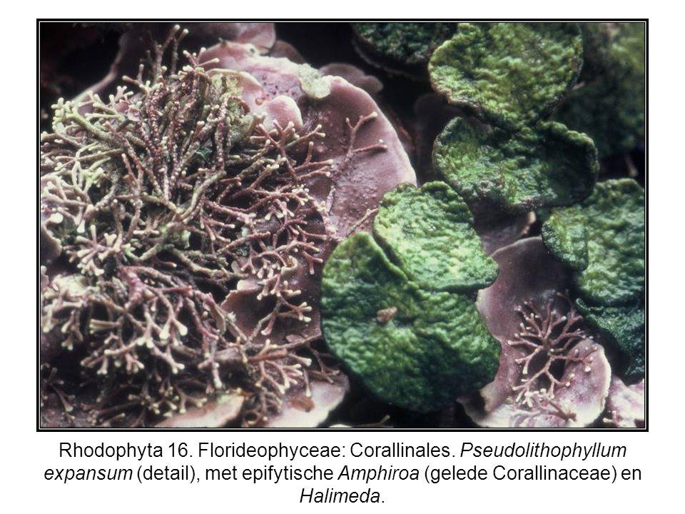 Rhodophyta 16. Florideophyceae: Corallinales