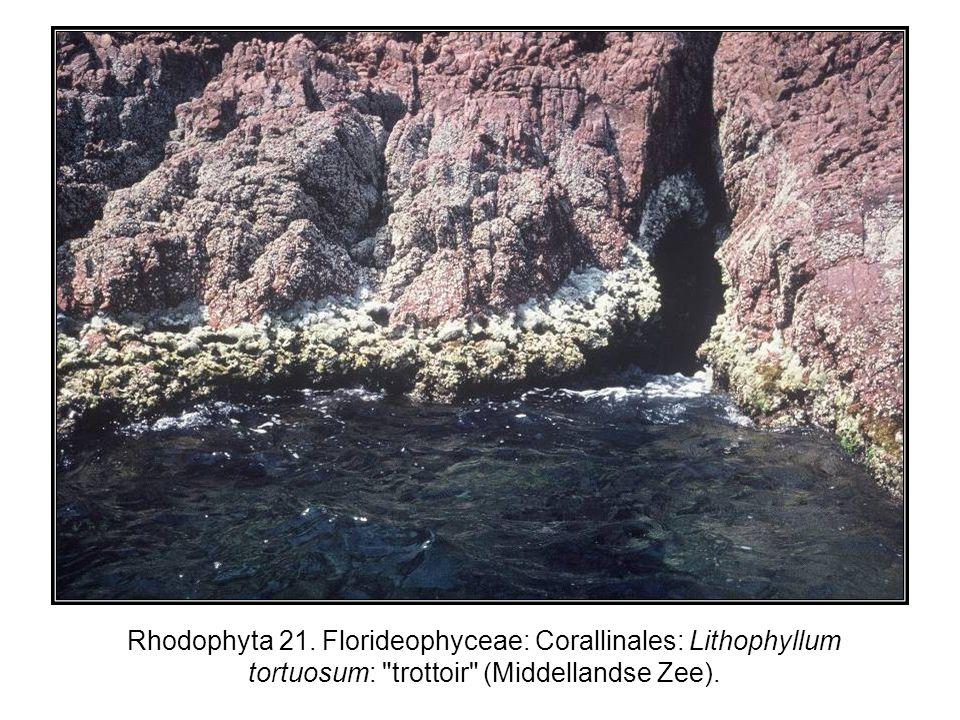 Rhodophyta 21. Florideophyceae: Corallinales: Lithophyllum tortuosum: trottoir (Middellandse Zee).
