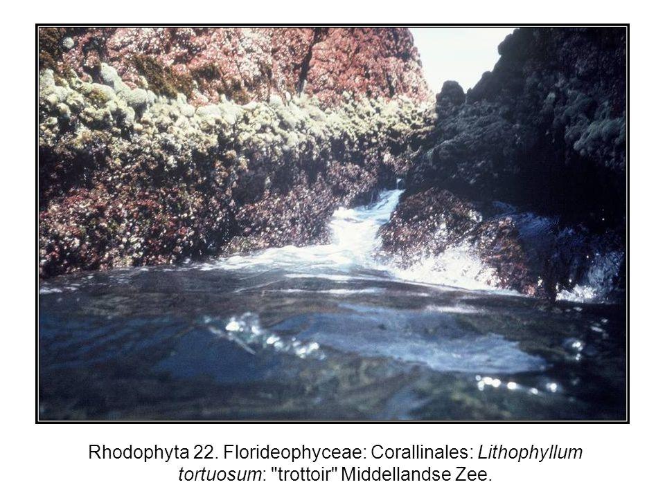 Rhodophyta 22. Florideophyceae: Corallinales: Lithophyllum tortuosum: trottoir Middellandse Zee.