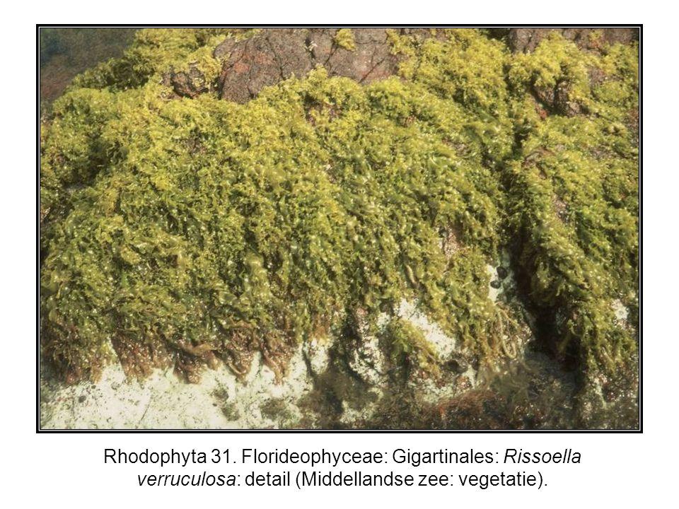 Rhodophyta 31.