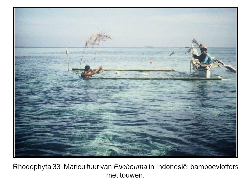 Rhodophyta 33. Maricultuur van Eucheuma in Indonesië: bamboevlotters met touwen.
