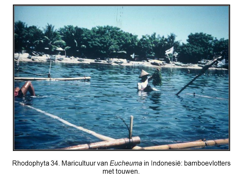 Rhodophyta 34. Maricultuur van Eucheuma in Indonesië: bamboevlotters met touwen.