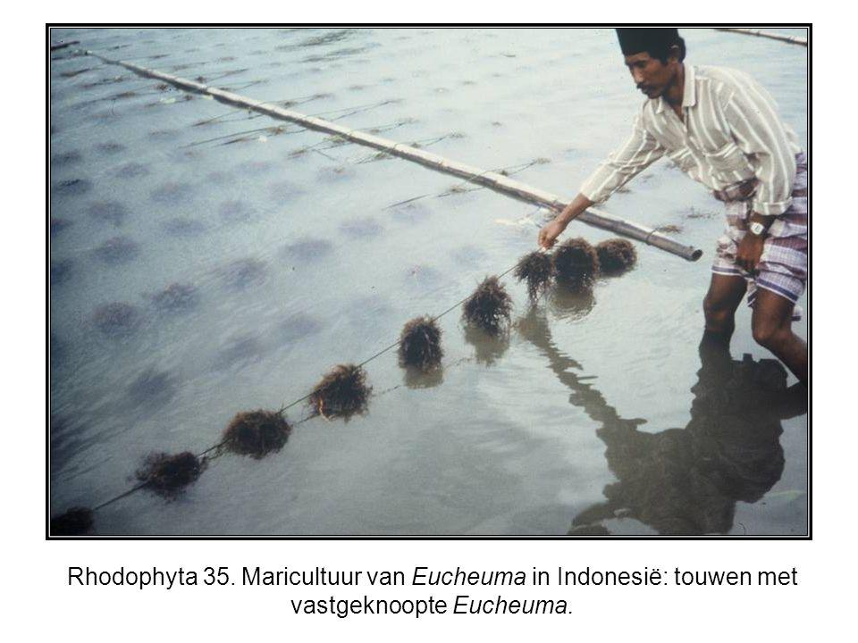 Rhodophyta 35. Maricultuur van Eucheuma in Indonesië: touwen met vastgeknoopte Eucheuma.