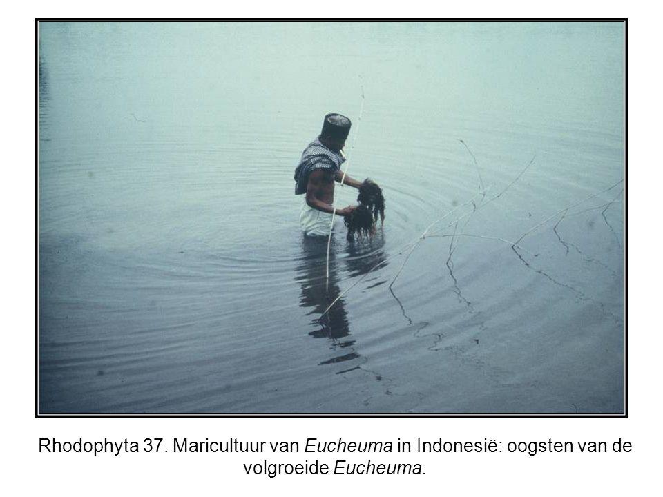 Rhodophyta 37. Maricultuur van Eucheuma in Indonesië: oogsten van de volgroeide Eucheuma.