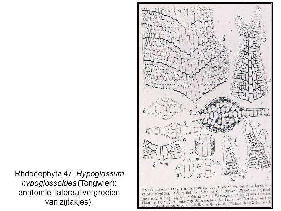 Rhdodophyta 47. Hypoglossum hypoglossoides (Tongwier): anatomie: lateraal vergroeien van zijtakjes).