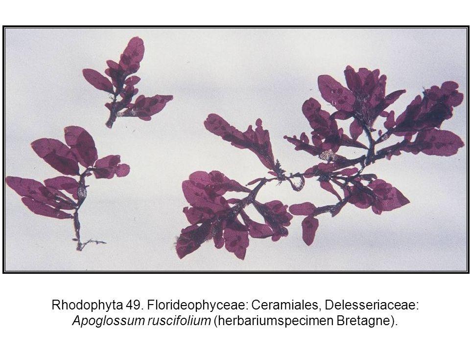 Rhodophyta 49.