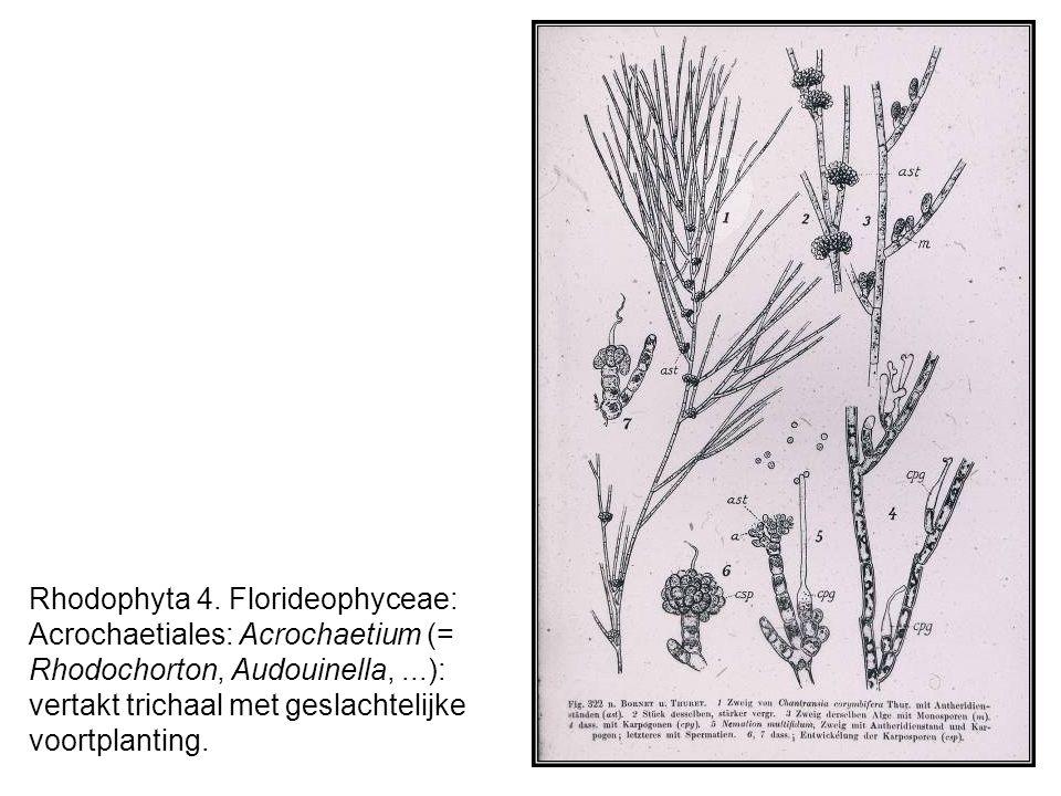 Rhodophyta 4.