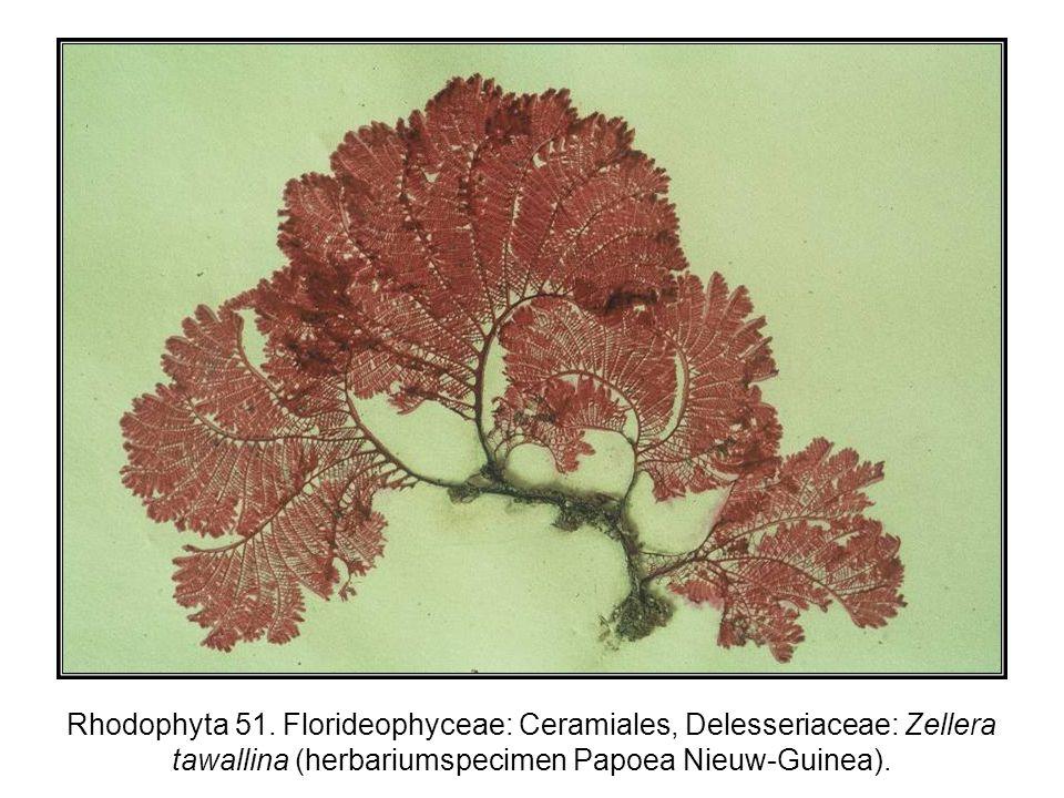 Rhodophyta 51.