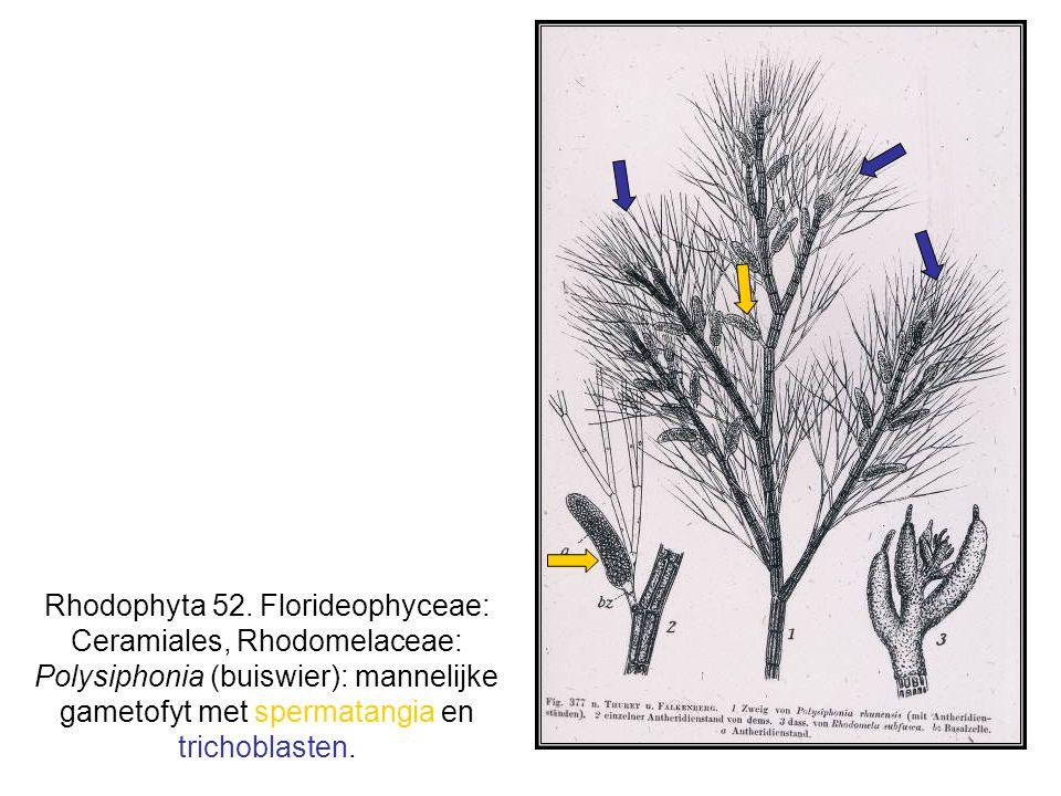 Rhodophyta 52.