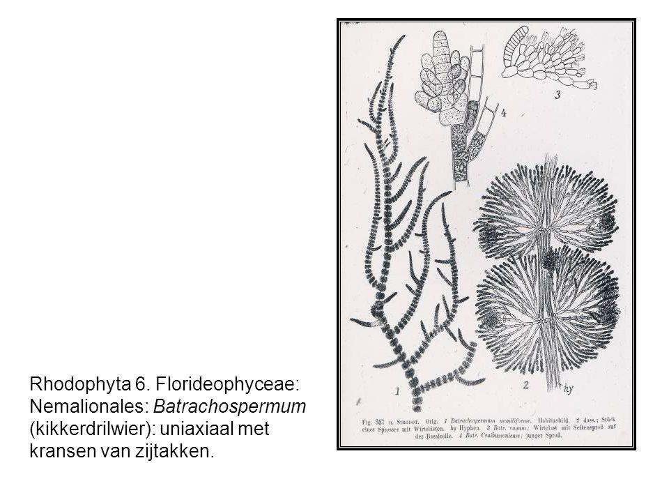 Rhodophyta 6.
