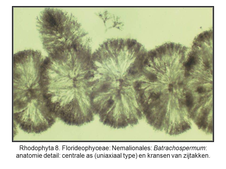 Rhodophyta 8.