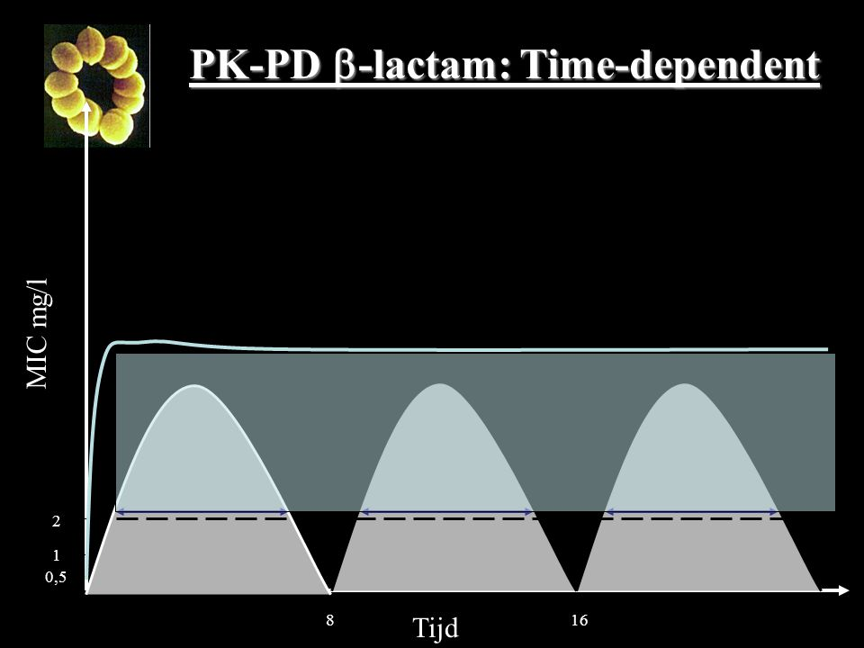 PK-PD -lactam: Time-dependent