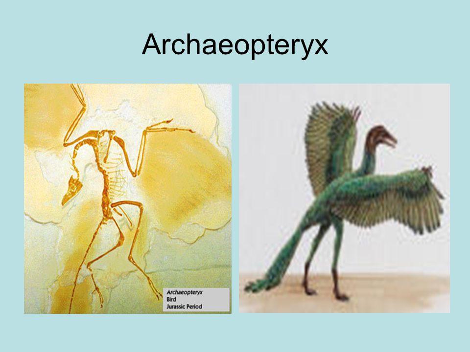 Archaeopteryx 150 mlj jaar geleden (jura); primitief getande vogel
