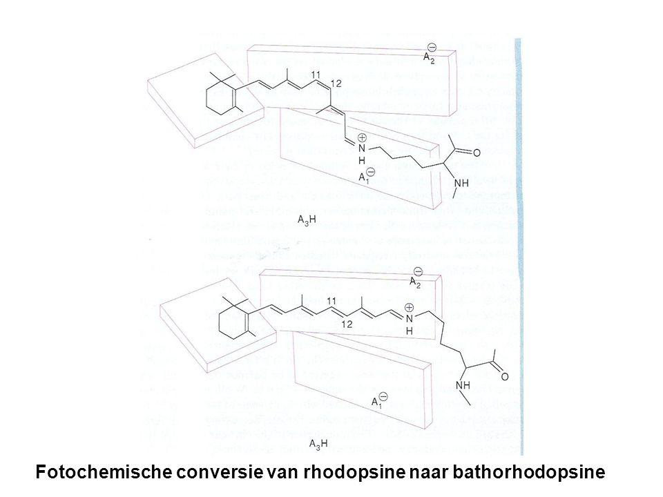 Fotochemische conversie van rhodopsine naar bathorhodopsine