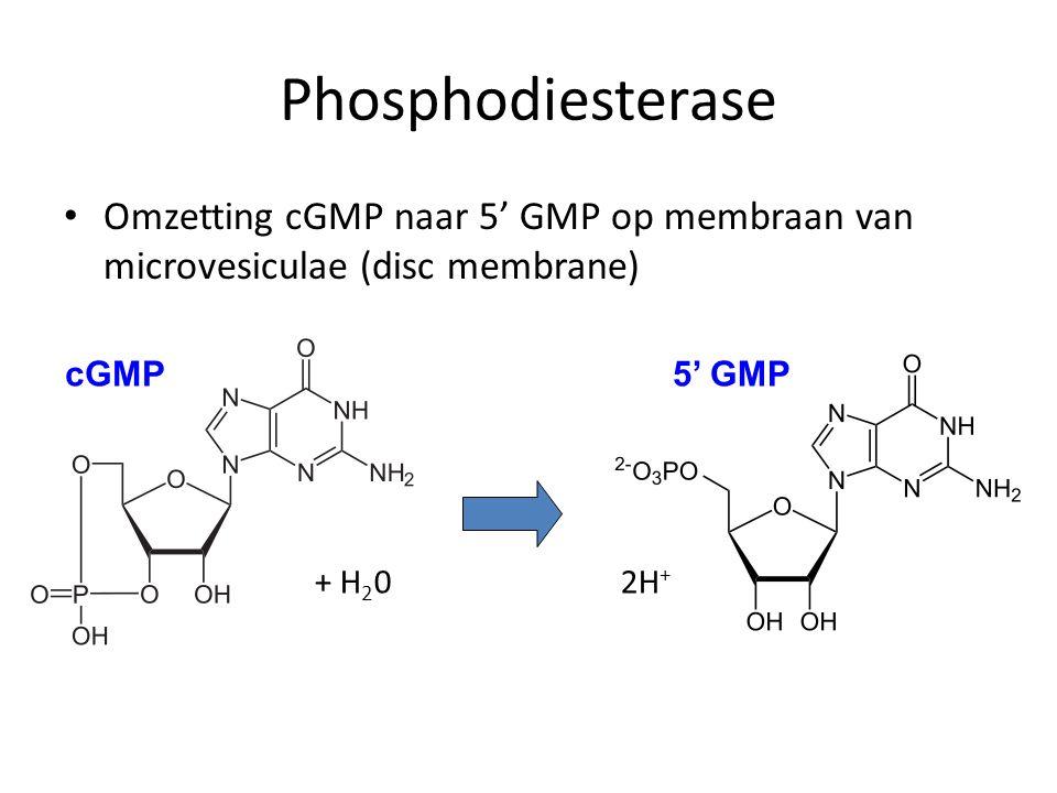 Phosphodiesterase Omzetting cGMP naar 5' GMP op membraan van microvesiculae (disc membrane) + H20 2H+