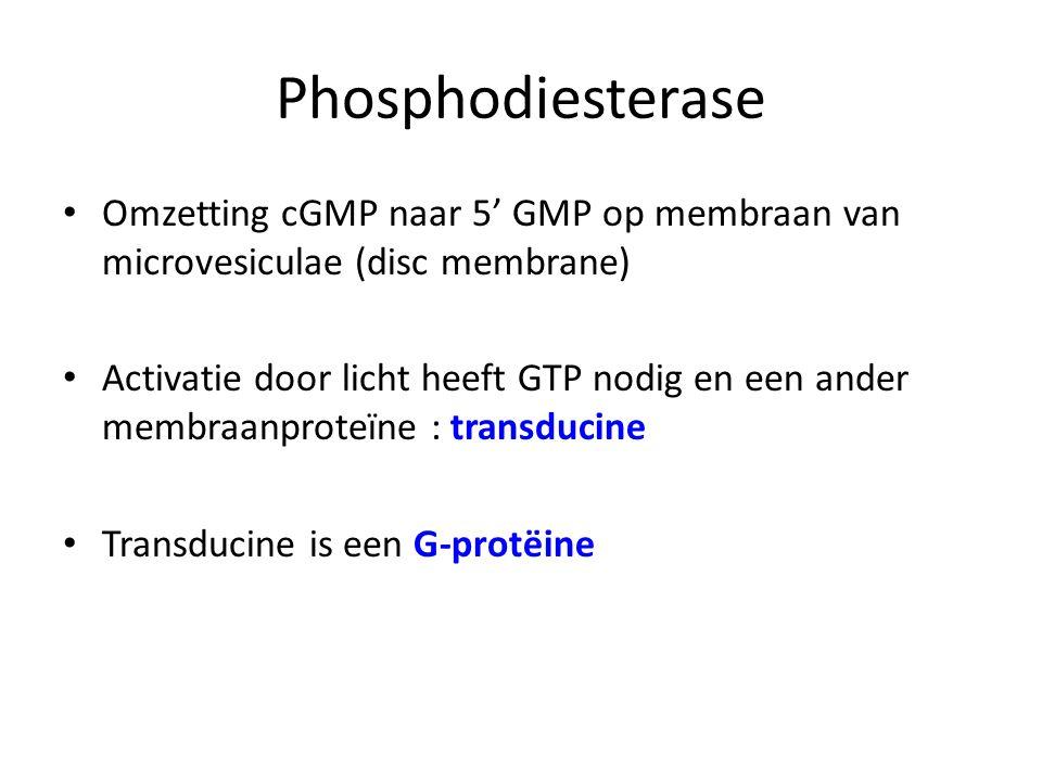 Phosphodiesterase Omzetting cGMP naar 5' GMP op membraan van microvesiculae (disc membrane)
