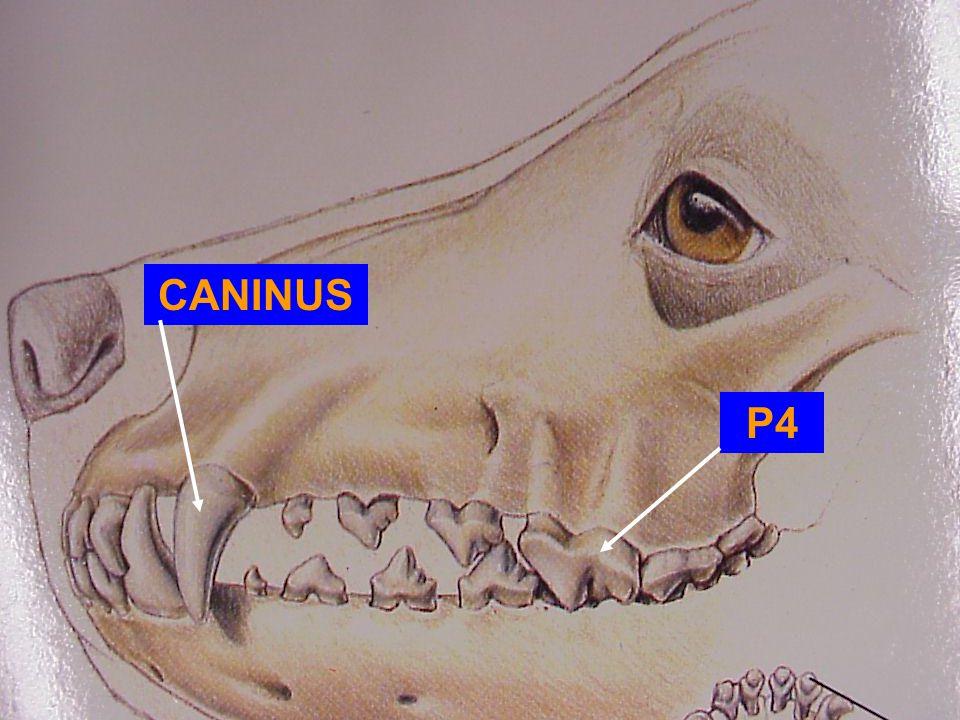 CANINUS P4