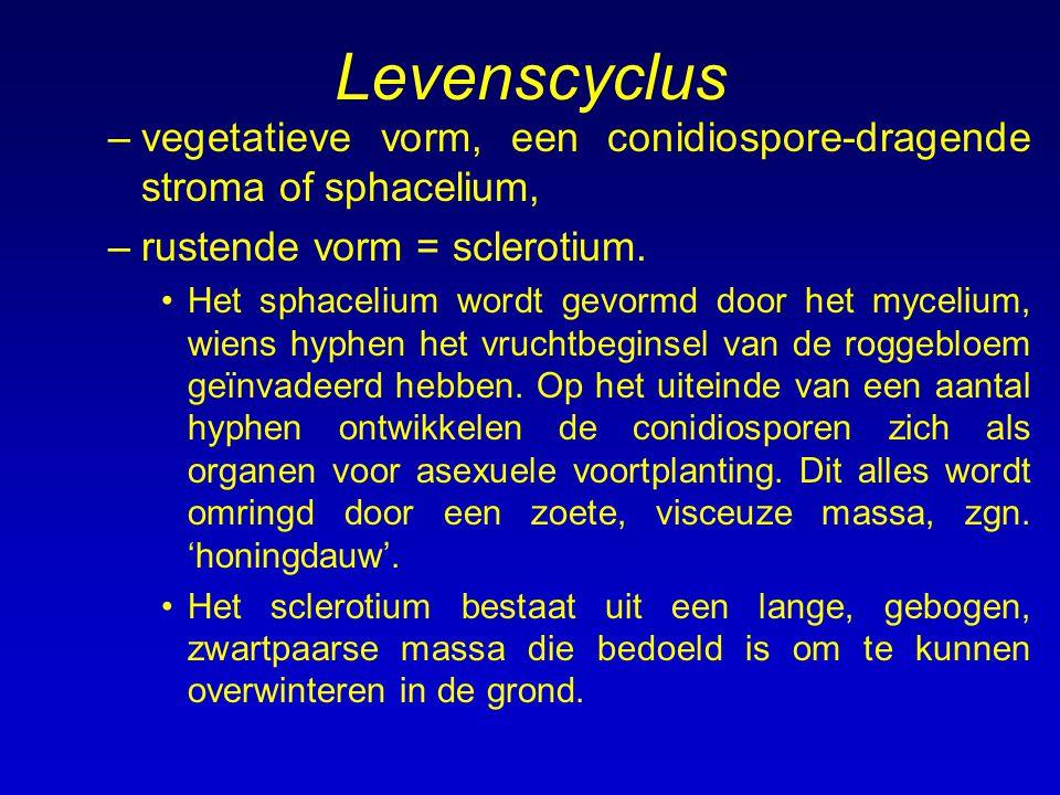 Levenscyclus vegetatieve vorm, een conidiospore-dragende stroma of sphacelium, rustende vorm = sclerotium.
