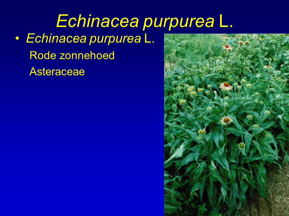 Echinacea purpurea L. Echinacea purpurea L. Rode zonnehoed Asteraceae