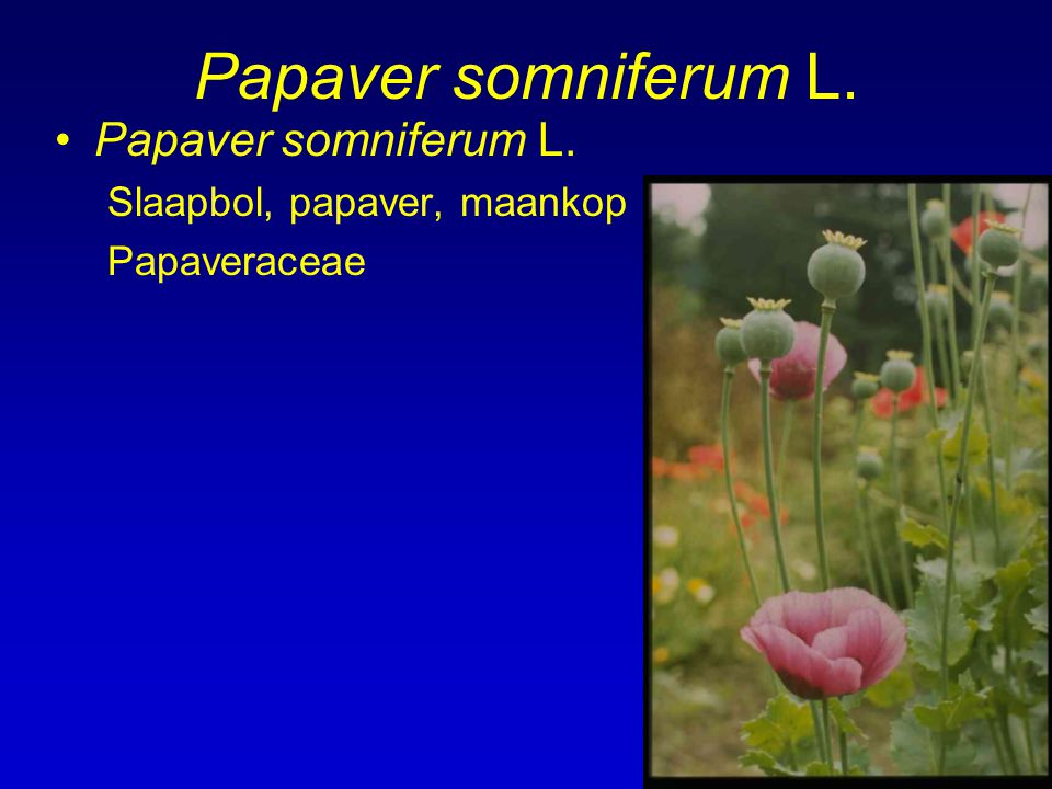 Papaver somniferum L. Papaver somniferum L. Slaapbol, papaver, maankop