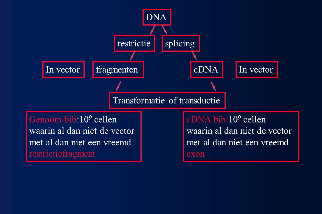 DNA restrictie. splicing. In vector. fragmenten. cDNA. In vector. Transformatie of transductie.